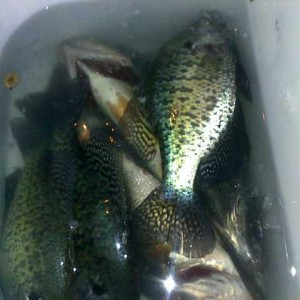 Crappie and 2 Largemouth